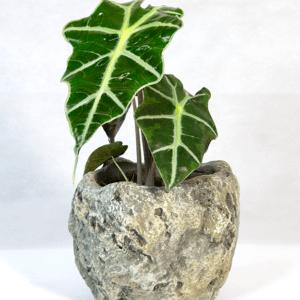 Alocasia Amazonica con vaso in pietra